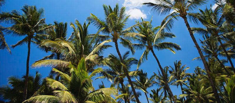 palm trees of Maui